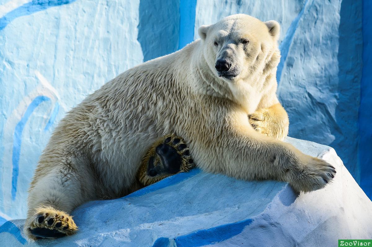видео все о животных белые медведи