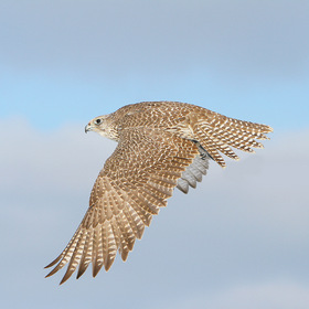 Falco Rusticolus in Flight