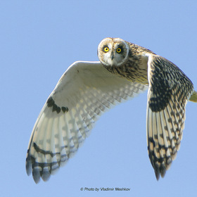 Болотная сова (Lat. Asio flammeus) Short-Eared Owl.